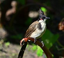Red-whiskered Bulbul ( Pycnonotus jocosus ) by Loreto Bautista Jr.