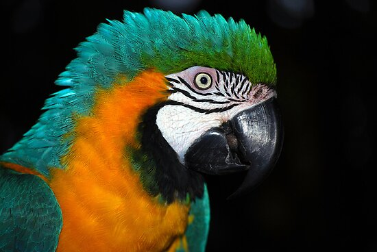 Pretty Parrot by Carol Barona