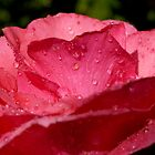 Drops on a rose after a rain shower. by Sami Sarkis