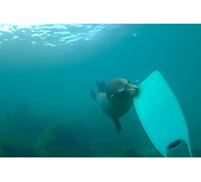 Sea lion biting a diver flipper, Underwater Photographic Print