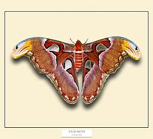 Atlas Moth - Specimen style print by Mark Podger