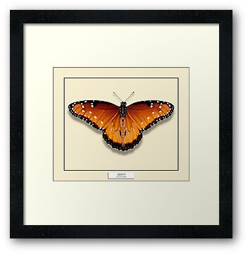 Queen Butterfly - Specimen style by Mark Podger