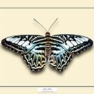 Blue Clipper Butterfly - Specimen style print by Mark Podger