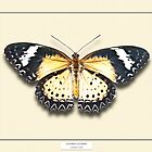 Leopard Lacewing Butterfly - Specimen style print by Mark Podger