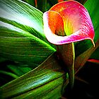 Cala Lily by Debbie Meyers