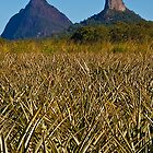 Mt Beewah and Mt Coonowrin behind pineapple feilds by Jaxybelle