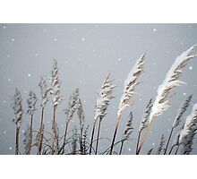 snowy covered reeds Photographic Print