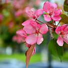 Pink Dogwood by anchorsofhope