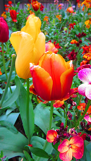TWO TULIPS by Colleen2012