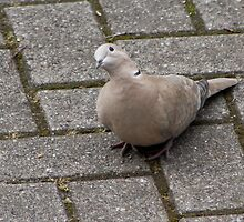 Collared Dove.. by Lauren Tucker