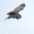 Great Grey Owl Hunting by Bryan Shane