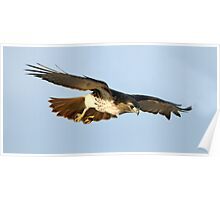 Red Tailed Hawk Swooping  Poster