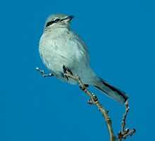 Northern Shrike Portrait by Bryan Shane