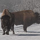 Bison Bill by FranJ