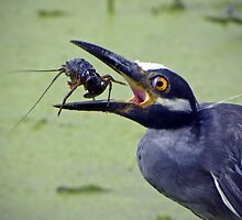 Yellow-Crowned Night-Heron & Crawfish  by venny