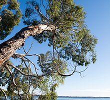 gum tree reaching by Anne Scantlebury