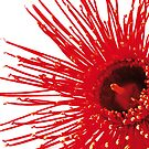 "Corymbia ficifolia ""Wildfire"" by Sarah Trett"
