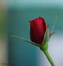 Single red rose by Photos - Pauline Wherrell