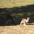 Kangaroos at Cardinia Reservoir Park, Victoria by SophiaDeLuna