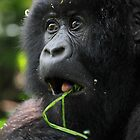 Surprised at Lunch!! Juvenile Mountain Gorilla. by Carole-Anne