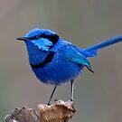 Splendid Blue Wren by Glen  Robinson