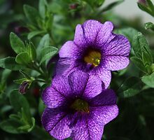 Purple Mini Petunias by karina5