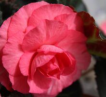 Begonia - Pink Giant Flower Head by karina5
