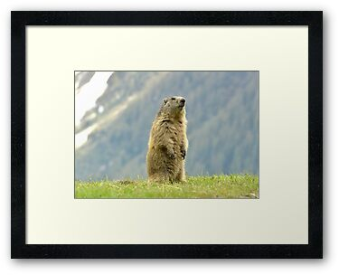 Marmot by neil harrison