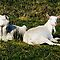 Saanen Goats in the Sun by James Hogarth