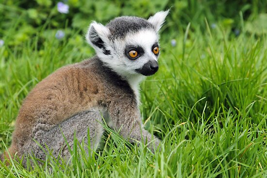 Baby Ring Tailed Lemur by Mark Hughes