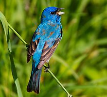 Male Indigo Bunting Singing Out by John Absher