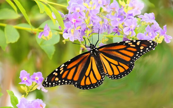 Monarch and Lavender Flowers by Rosalie Scanlon