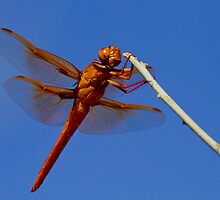 Male Flame Skimmer Dragonfly by John Absher