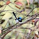 Superb Fairy-Wren by Malcolm  Taylor