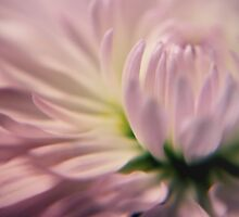 Softness in Pink by yolanda