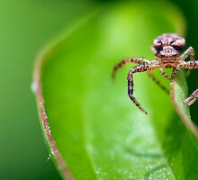 Balancing Spider macro by Evogance