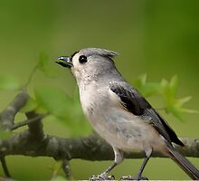 Tufted Titmouse by Kathy Baccari