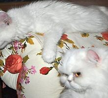 Pampered Van Cat and Persian Cat  by taiche