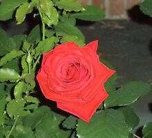 Red Rose by ack1128