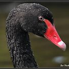 Black Swan by Sue-Hasker