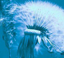 Dandelion by Falko Follert