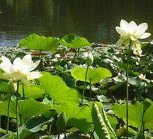 Happy Lotus together at waters edge by Anthea  Slade