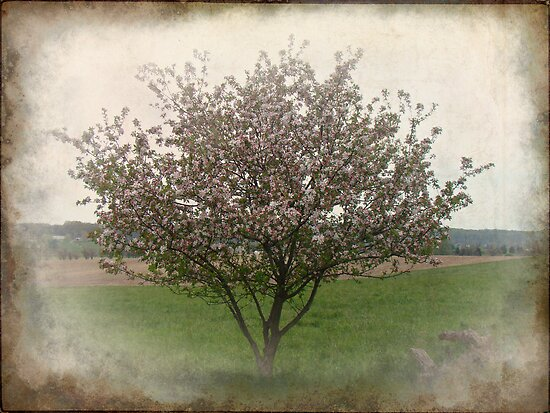 Apple Blossoms by MotherNature