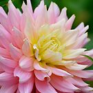 Delightful Dahlia by Carol Clifford
