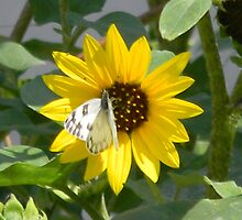Sunflower and Sunflower Seed Head by Navigator