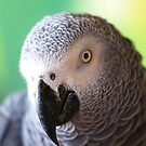 African Grey Smize by tigerwings