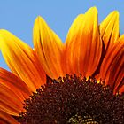Sunflower 2 by WDaRos714