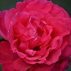 Pink Rose by David Wanden