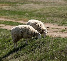 Two Ewes by Joyce Peters