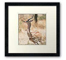 Gerenuk 1 Framed Print